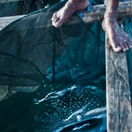 Whale shark at the fishing platform in Papua